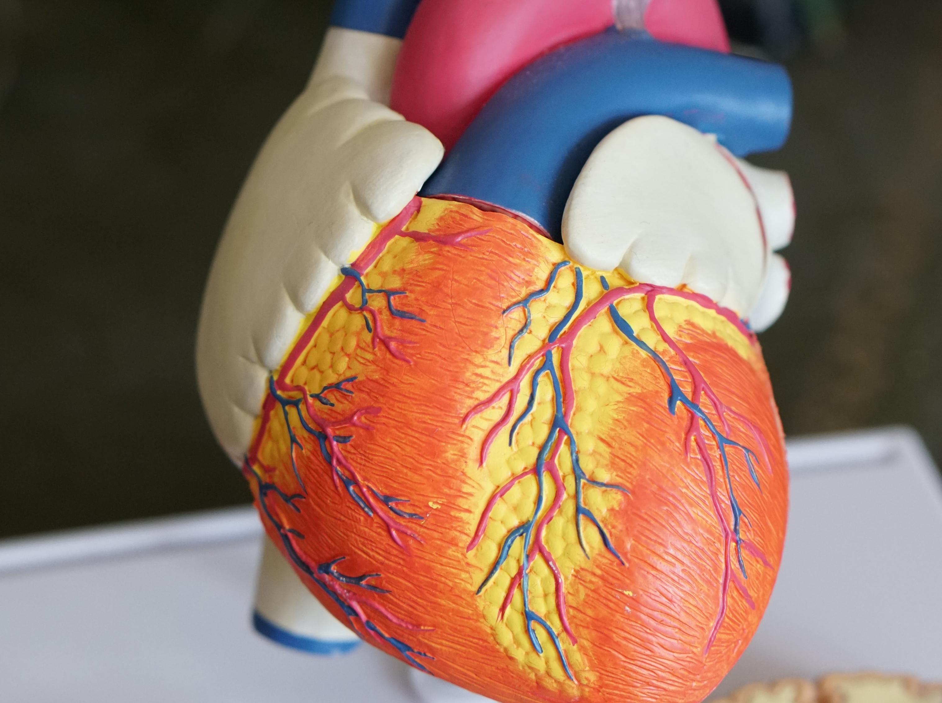Blutgefäße und Training